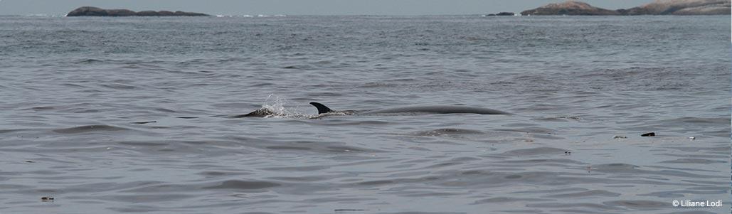 Baleia-de-bryde deslocando-se entre lixo sólido flutuante.