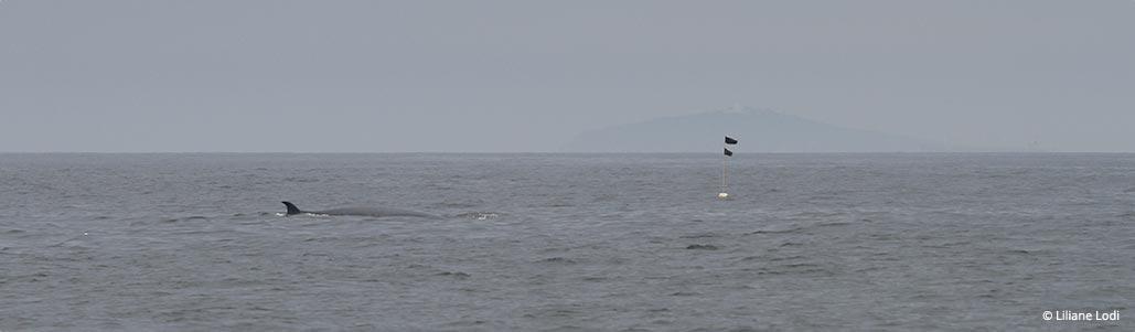 As redes de espera constituem uma ameaça potencial para as baleias-de-bryde.
