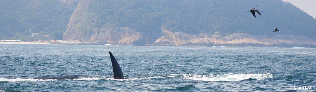 Enquanto está se alimentando, pode se posicionar de lado exibindo uma parte da nadadeira caudal acima da superfície da água, o que pode confundir com a nadadeira dorsal de um macho adulto de orca (<em>Orcinus orca</em>).