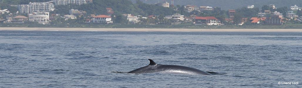 Baleia-de-Bryde no Rio de Janeiro