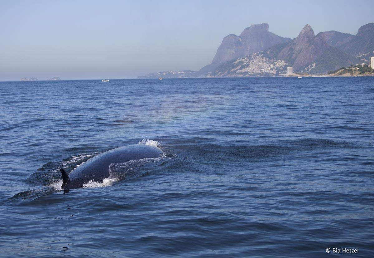 A baleia-de-bryde é uma das espécies do grupo dos misticetos (ou seja, baleias) sob maior pressão humana em águas jurisdicionais brasileiras e que requer ações de conservação.*