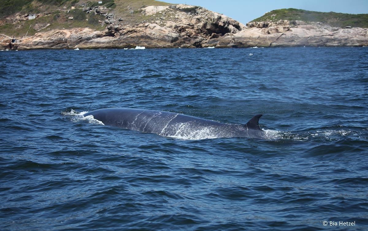 De onde vêm e para onde elas vão? Entender quem são e como vivem as nômades dos oceanos são aspectos cruciais para a conservação da espécie.