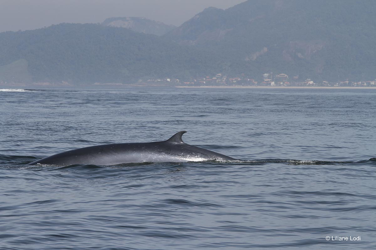Esta plataforma virtual permite a troca de informações em diferentes locais o que ajudará a identificar potenciais habitas críticos das baleias-de-bryde.