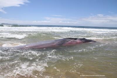 Dezembro de 2017.  Praia de Baixo, entre a Guarda do Imbaú e a Praia da Gamboa, Florianópolis, Santa Catarina. OBS: Animal resgatado com sucesso.
